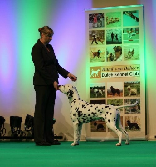 Solbo's Kayo topdog of the year 2013 crufts 2014